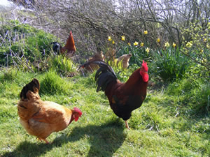 Free range <h2>chickens roaming around dragon willows farm glastonbury